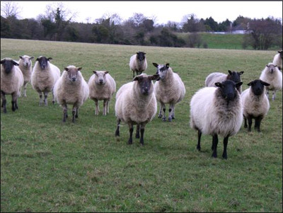 Irish_sheep
